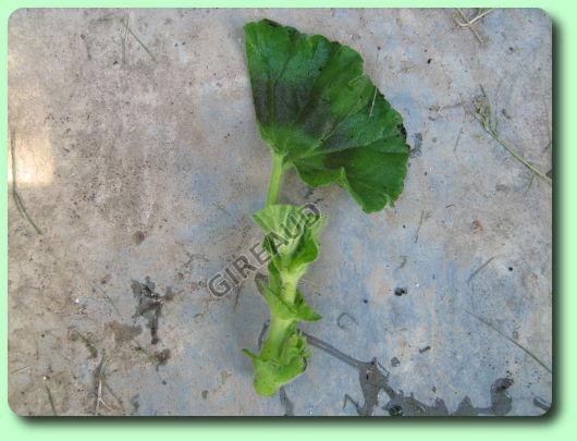 Le bouturage des g raniums - Comment se debarrasser du lierre ...