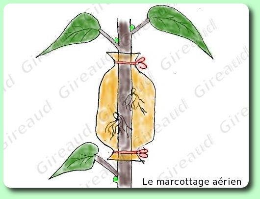 ficus elasctica Marcottage_aerien