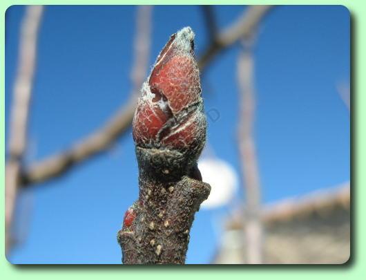 Le pommier les arbres fruitiers - Bouillie bordelaise sur arbres fruitiers en fleurs ...