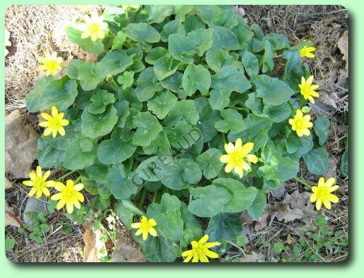 Le ficaire les mauvaises herbes - Mauvaise herbe fleur jaune ...