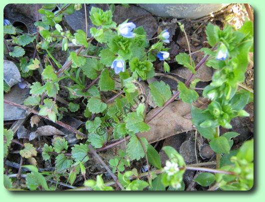 La v ronique de perse les mauvaises herbes for Mauvaises herbes du jardin photos