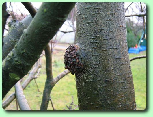 Chauler le tronc des arbres fruitiers - Maladie des arbres fruitiers ...