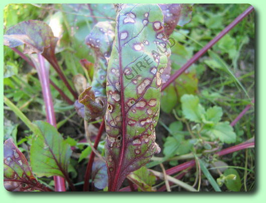 La cercosporiose de la betterave les maladies des plantes potag res - Comment cuisiner les feuilles de betterave rouge ...
