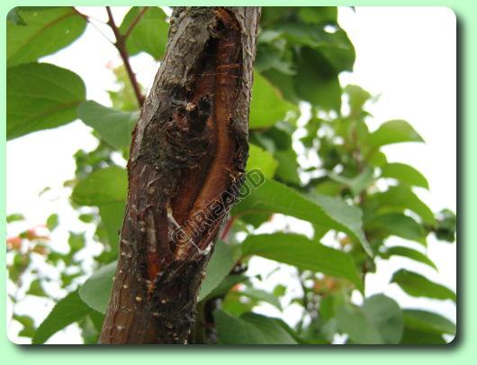 Le chancre les maladies des plantes potag res - Maladie du cerisier ...