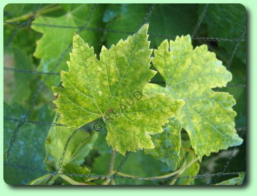 La chlorose ferrique les maladies des plantes potag res - Maladie de la courgette ...