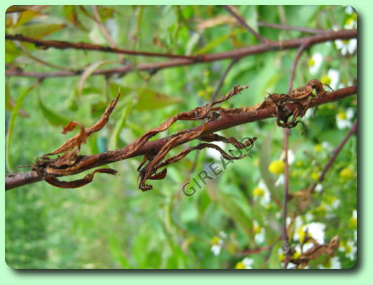 Le coryneum ou maladie cribl les maladies des plantes - Maladie du pecher ...