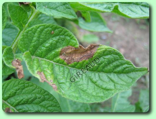 Le mildiou sur pomme de terre les maladies du jardin potager - Maladie de la pomme de terre ...