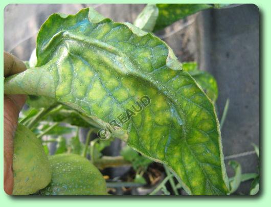 le mildiou de la tomate les maladies des plantes potag res. Black Bedroom Furniture Sets. Home Design Ideas