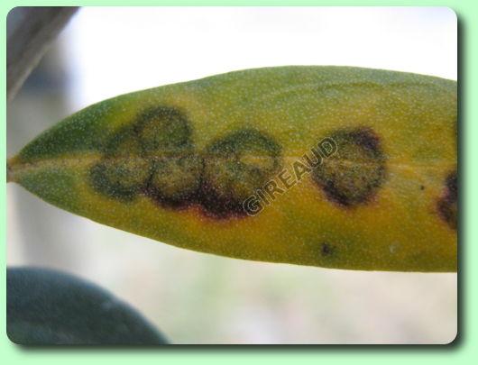 Le cycloconium ou oeil de paon les maladies des plantes - Maladie de l olivier en pot ...