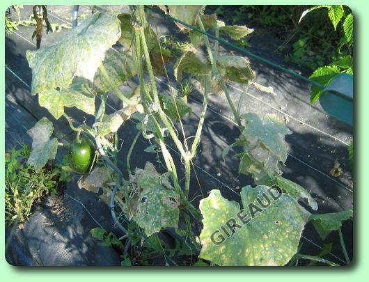 L 39 o dium du concombre les maladies des plantes potag res - Maladie de la courgette ...