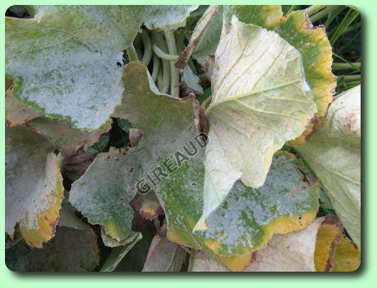 L 39 o dium de la courgette les maladies des plantes - Maladie de la courgette ...