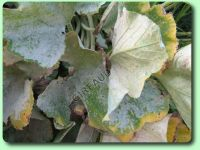 Les maladies des plantes potag res description - Maladie de la courgette ...