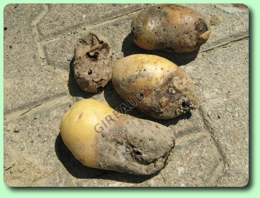 La pourriture molle les maladies des plantes potag res - Maladie de la pomme de terre ...