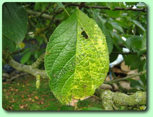La rouille du prunier les maladies des plantes potag res for Eleagnus maladie feuilles jaunes