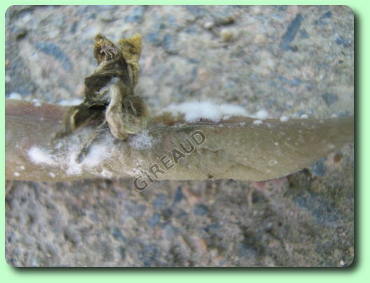 haricots maladie parasite
