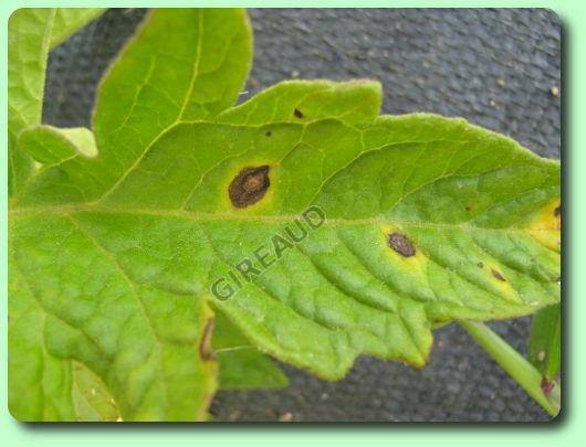La maladies des taches noires les maladies des plantes - Maladie pied de tomate ...