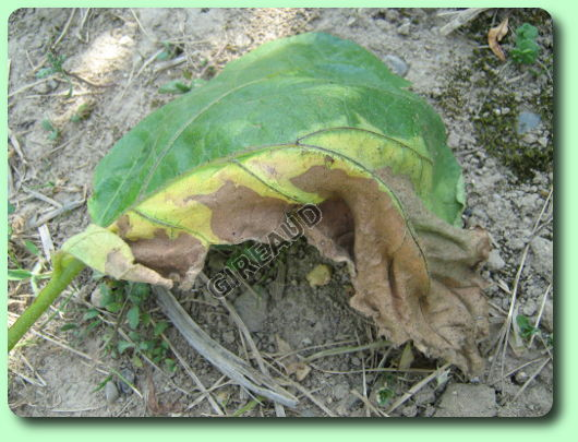 La verticilliose les maladies des plantes potag res - Maladie de la courgette ...