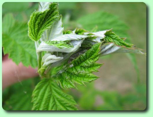 Es chenilles les parasites du jardin for Vers gris traitement