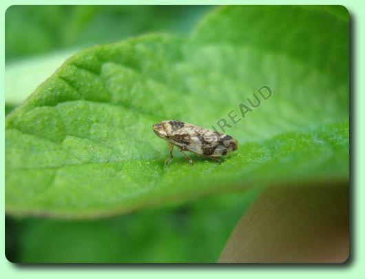 La cicadelle cumeuse les parasites du jardin - Insecte vert volant ...