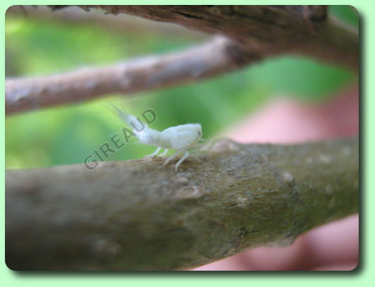 les cicadelles pruineuses les parasites du jardin. Black Bedroom Furniture Sets. Home Design Ideas