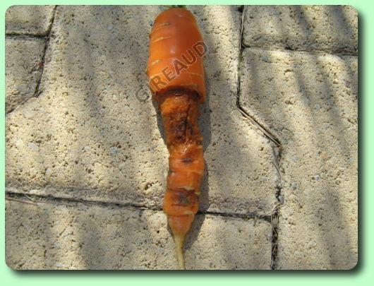la mouche de la carotte les parasites du jardin. Black Bedroom Furniture Sets. Home Design Ideas