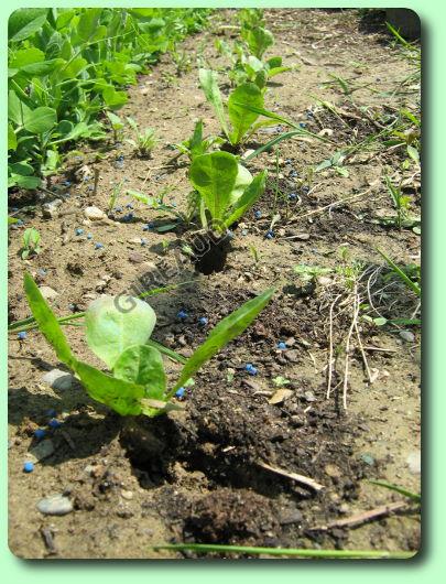 La chicor e endive les plantes potag res - Quand repiquer les tomates en pleine terre ...