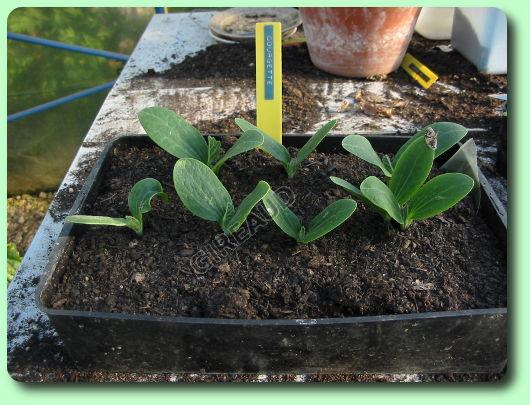 Faire pousser des courgettes vie pratique articles esprits libres - Faire pousser des courgettes ...