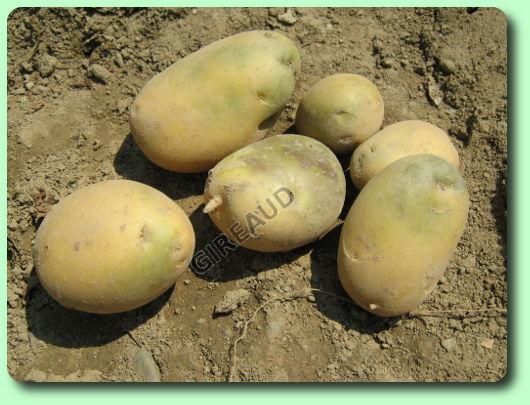 Faire pousser des pommes de terre vie pratique - Faire germer pomme de terre ...