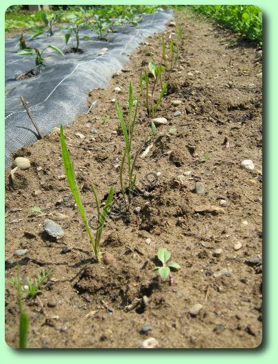 Le scorson re les plantes potag res - Quand repiquer les tomates en pleine terre ...