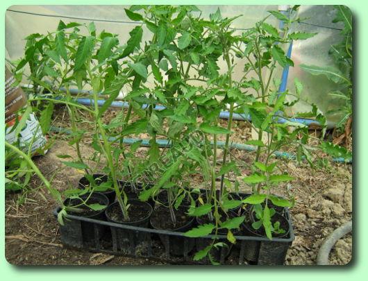 La tomate les plantes potag res - Quand repiquer les tomates en pleine terre ...