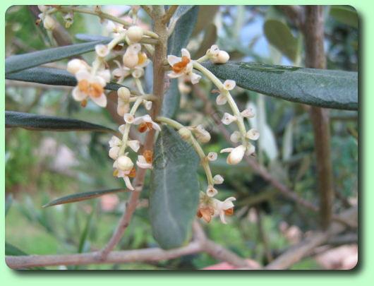 l\'olivier - les arbres fruitiers - fairesonjardin.fr